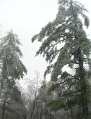 Trees Heavy in New England Ice Storm